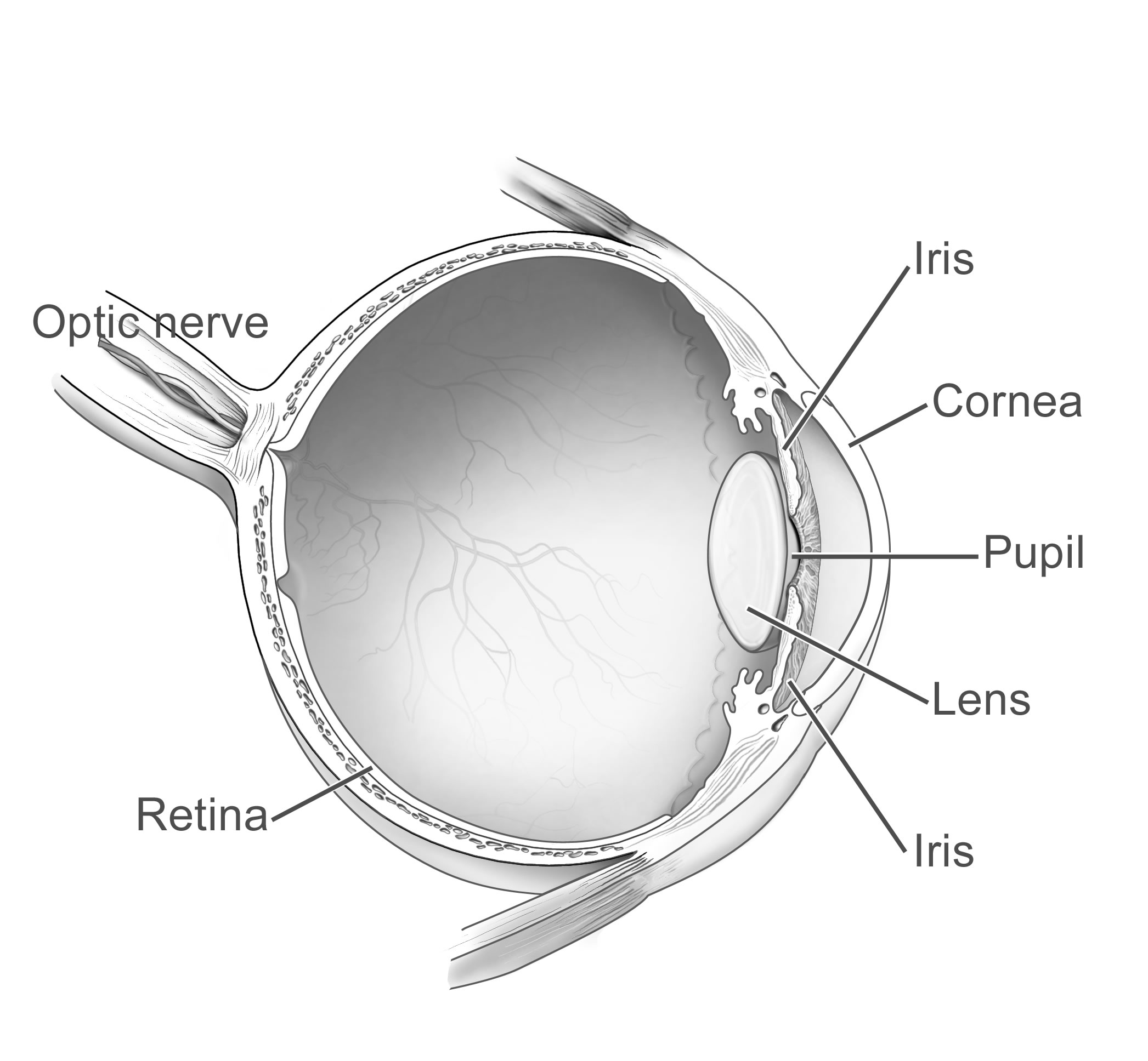 Diagram of a human eye