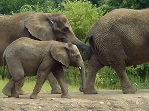Baby Elephant follows the adults