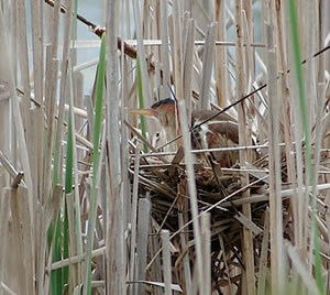 Female Bittern in nest
