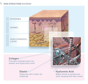 Skin Structure Diagram